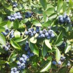 農薬不使用のブルーベリー